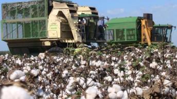 Recomiendan a productores de algodón ser rigurosos con las medidas contra la plaga del picudo