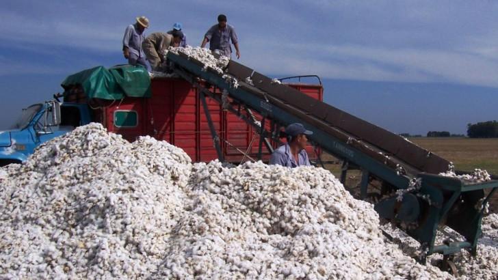 Lanzan operatoria para la compra de algodón en bruto