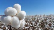 Algodón: el precio de la fibra cayó un 20% por baja en la demanda