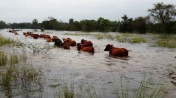 Las Breñas: ante las condiciones climáticas adversas, postergan el remate ganadero
