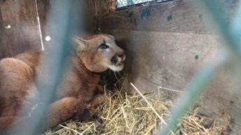 Charata: liberaron a tres animales silvestres que se hallaban en cautiverio