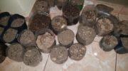 Villa Ángela: secuestraron plantines de cannabis y un arma