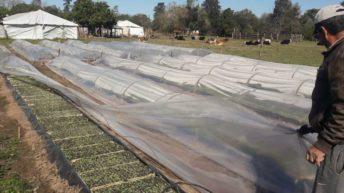 Tabacaleros recibieron financiamiento y aceleran el cultivo