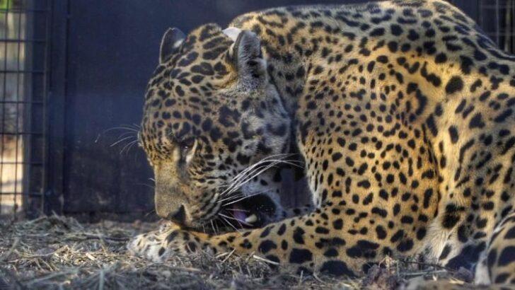 El Impenetrable: se encontraron los yaguaretés Tania y Qaramta
