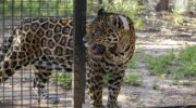 La presencia de la yaguareté Isis en el Parque Nacional El Impenetrable logró el reingreso de Qaramta a la zona protegida