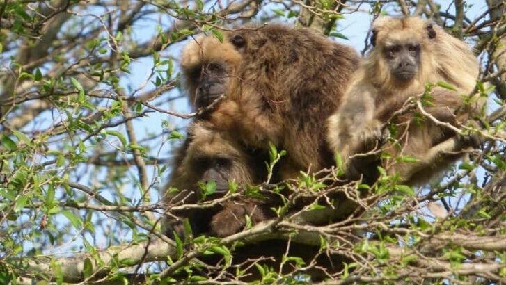 Declarar «Monumento Natural» al Mono Carayá, una de tantas acciones necesarias para su conservación