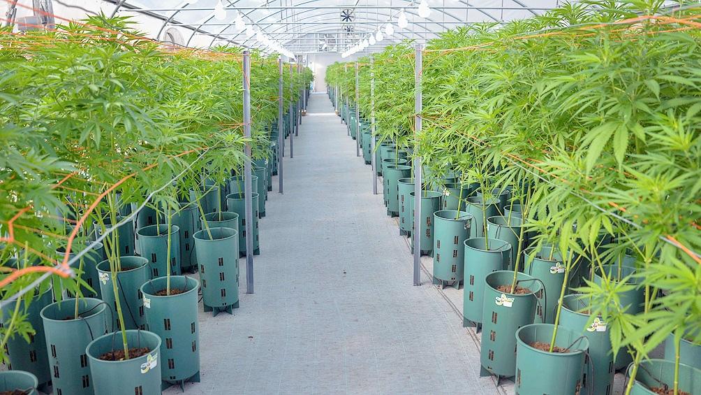 Se viene la ley para el desarrollo de la industria del cannabis medicinal 2