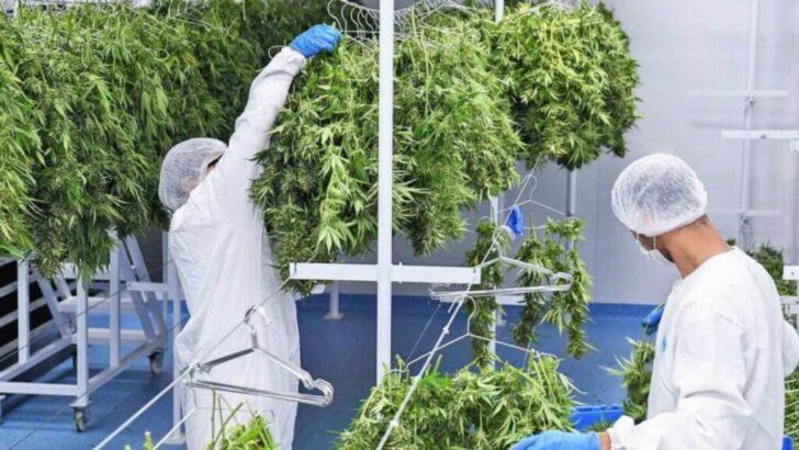 Legalización de la producción de cannabis: «Esta Ley va a permitir desarrollar una industria nueva»