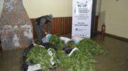 Misiones: Gendarmería secuestró 1.200 plantas de marihuana